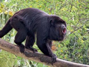 Holler Monkey